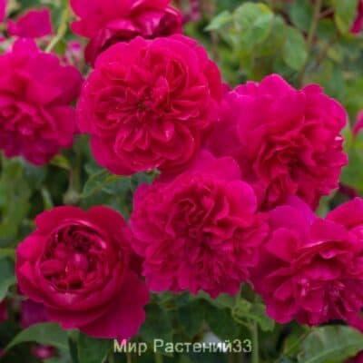 Роза кустовая Thomas à Becket. Томас Бекет. Дэвид Остин.