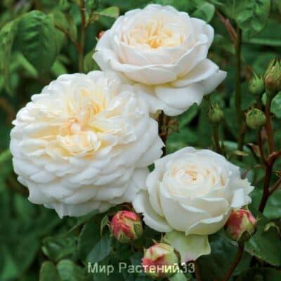 Роза кустовая Tranquillity. Транквиллити. Дэвид Остин.