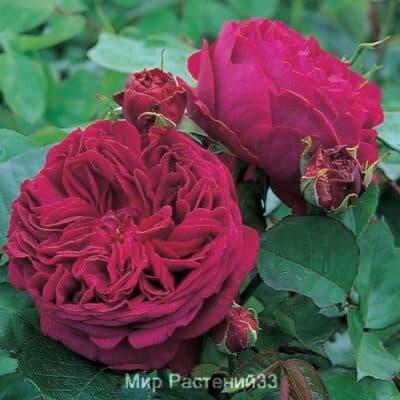 Розы Дэвида Остина (David Austin Roses) - Роза Фальстаф (FALSTAFF)