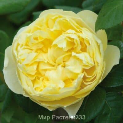 Роза кустовая Charles Darwin. Чарльз Дарвин. Дэвид Остин.