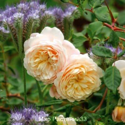 Роза кустовая Emanuel syn. Crocus Rose. Эмануэль (син. Крокус Роуз). Дэвид Остин.