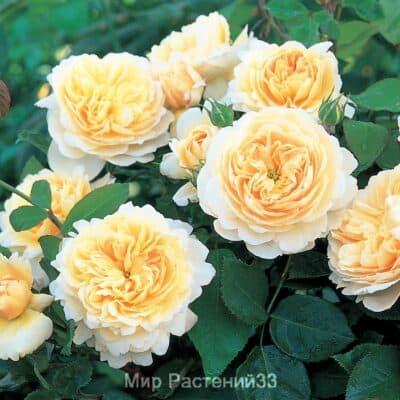 сортовые розы купить владимир