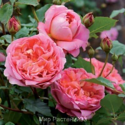 Роза кустовая Boscobel. Боскобель. Дэвид Остин.