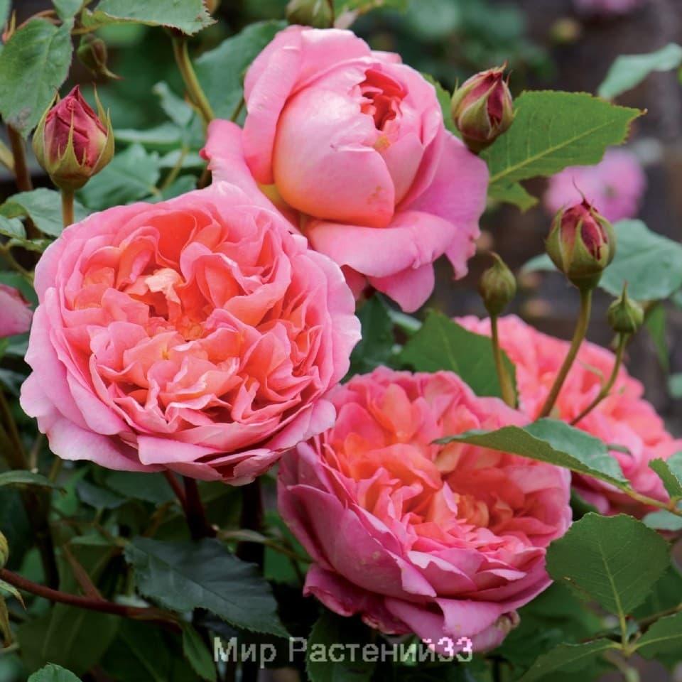 розы боскобель фото