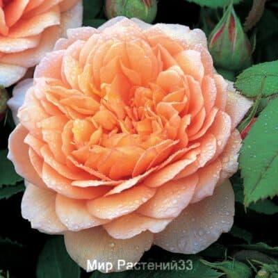Роза кустовая Grace. Грэйс. Дэвид Остин.