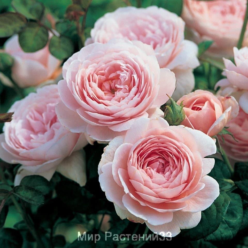 Розы остина.каталог