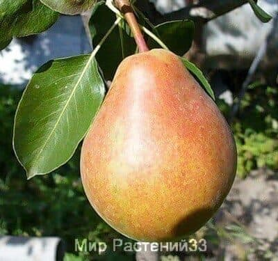 саженец груша первомайская