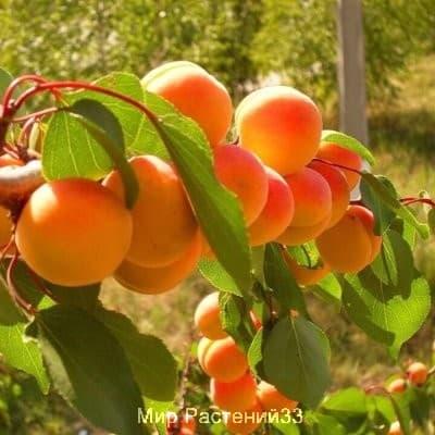 Абрикос Оранжевое чудо