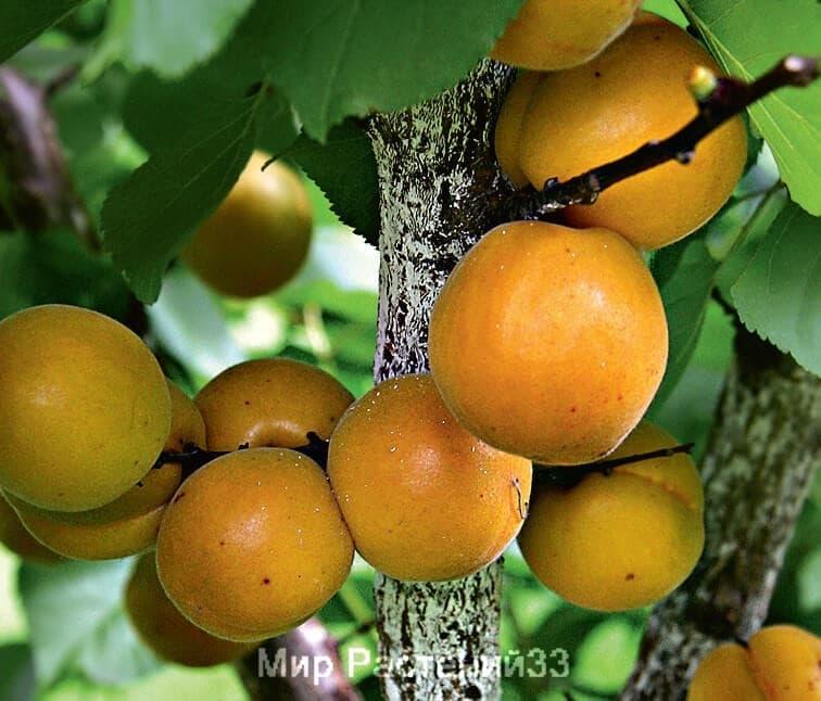 саженец абрикос царский