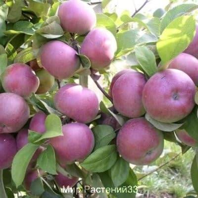 саженец яблони