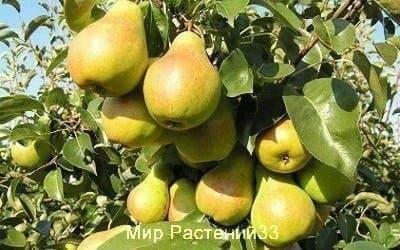 Саженцы Груша Скороспелка из Мичуринска (летний)