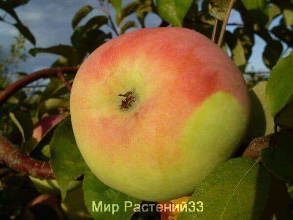 Саженец яблоня мартовская