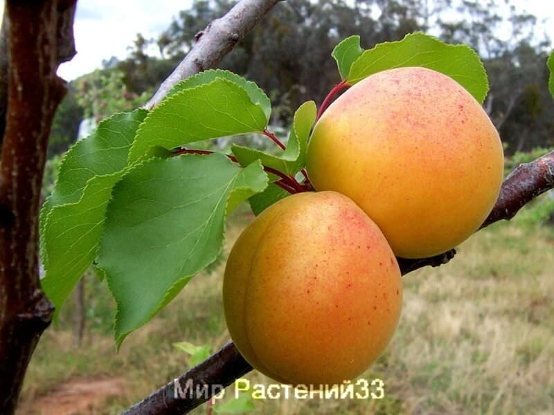 саженец абрикос алеша