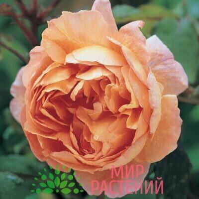 Роза кустовая Lady Emma Hamilton. Леди Эмма Хэмилтон. Дэвид Остин.6