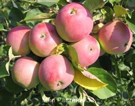 саженец яблоня вишневая