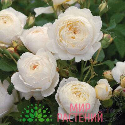 роза кустовая клэр остин