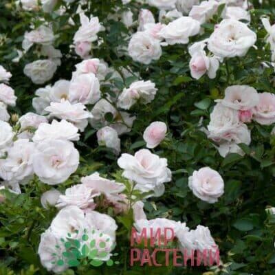 Роза флорибунда Aspirin Rose. Аспирин Роз. Тантау.