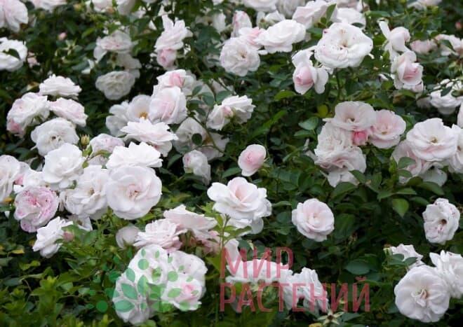 Роза флорибунда Aspirin Rose Аспирин Роз Тантау 1