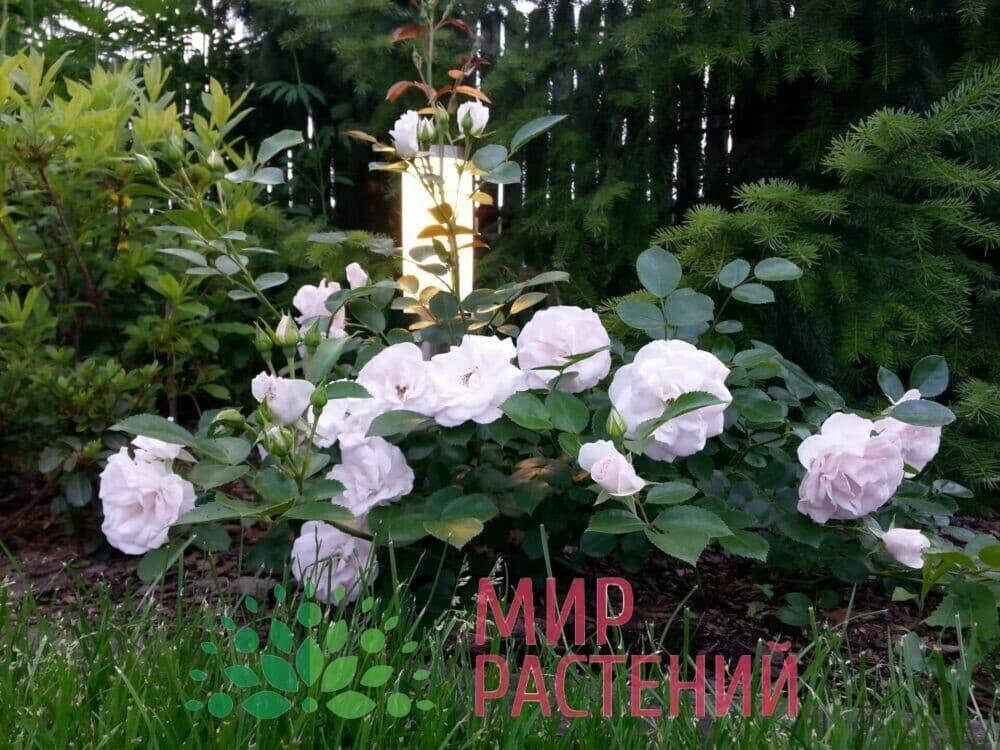 Роза флорибунда Aspirin Rose Аспирин Роз Тантау 2