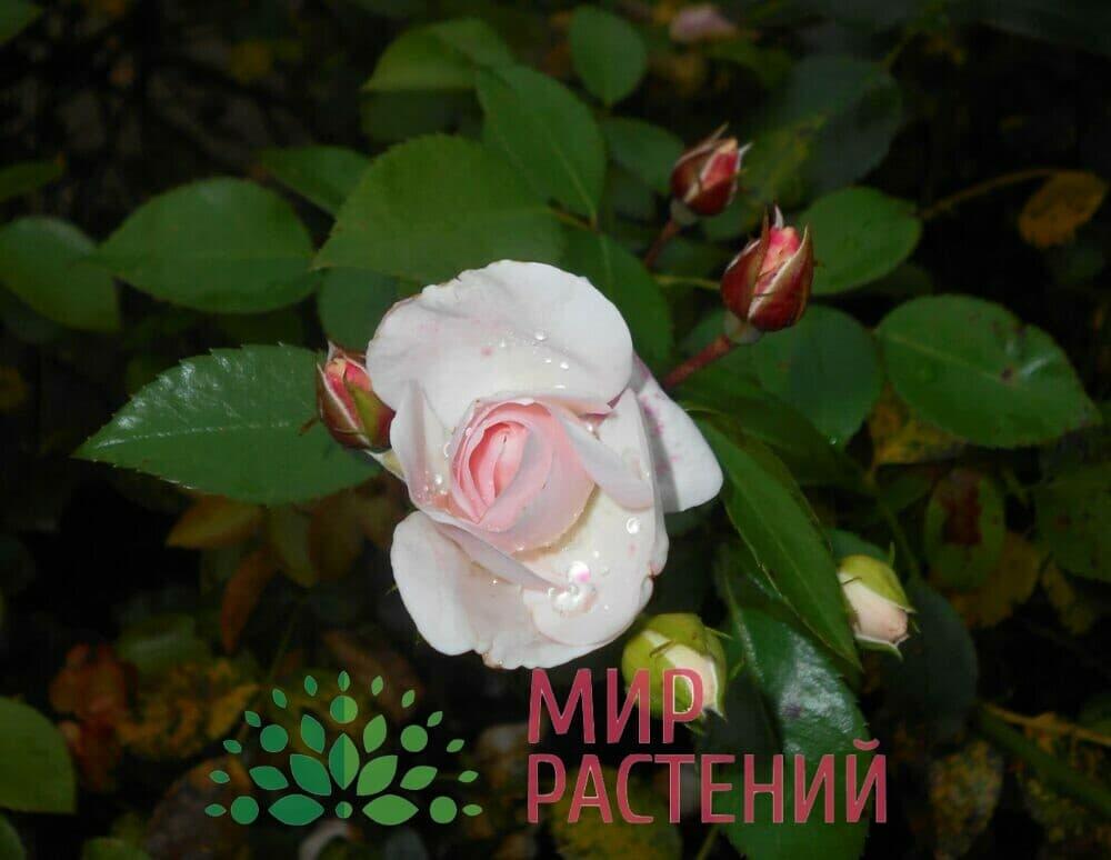 Роза флорибунда Aspirin Rose Аспирин Роз Тантау 3