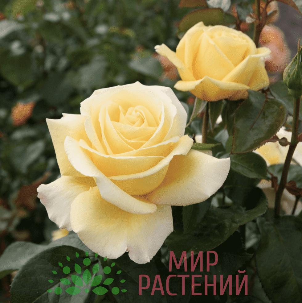 Тантау Авек Амур Tantau Avec Amour 1