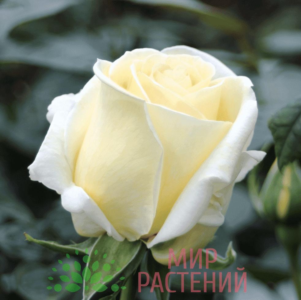 Тантау Авек Амур Tantau Avec Amour 3