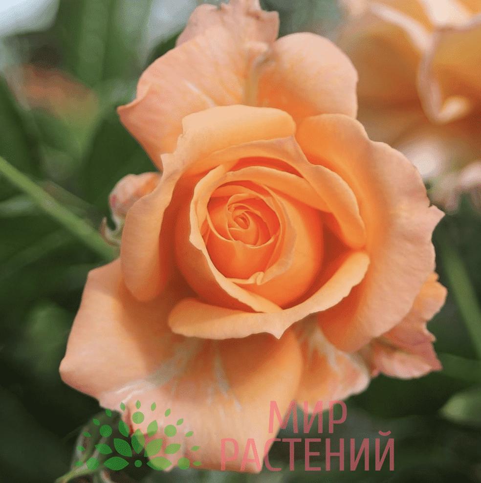 Роза кустовая Belvedere. Бельведер. Тантау.