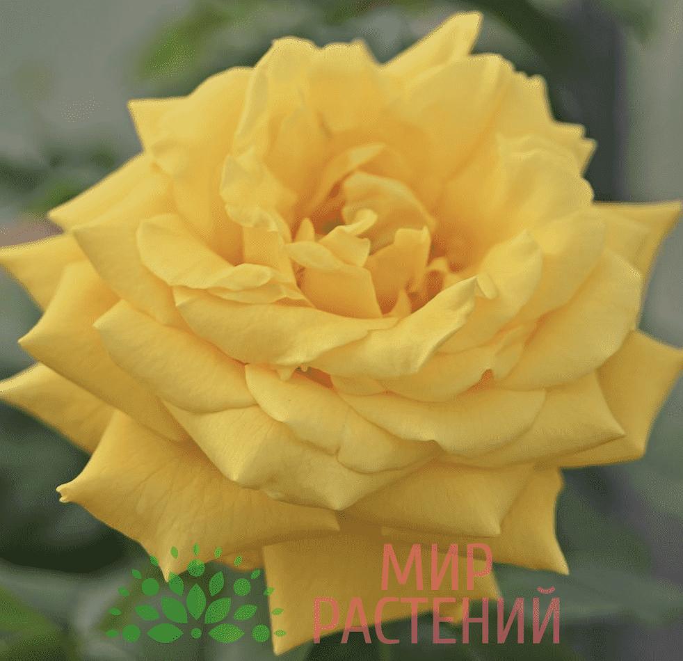 Тантау Голдштерн Tantau Goldstern Clg 3