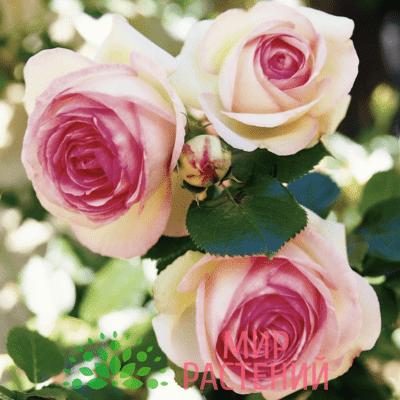 Роза кустовая Eden Rose 85. Эден Роз 85. Тантау.