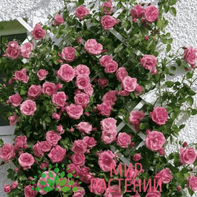 Роза плетистая Lawinia. Лавиния. Тантау.