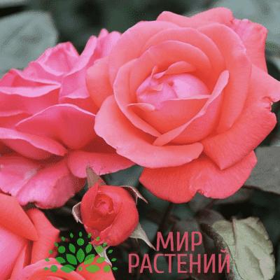 Роза флорибунда Piccolo. Пиколо. Тантау.
