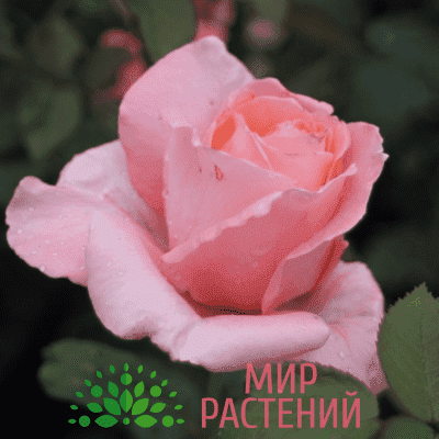 Тантау Пирошка Tantau Piroschka 1