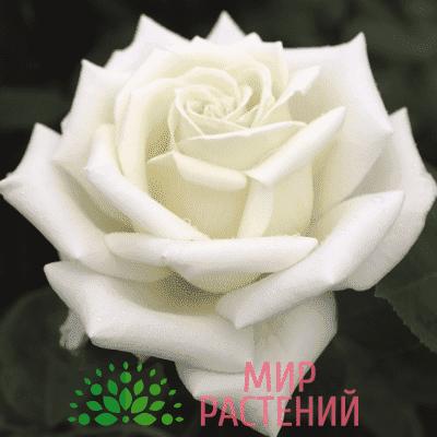 Роза чайно-гибридная Polarstern. Поларштерн. Тантау.