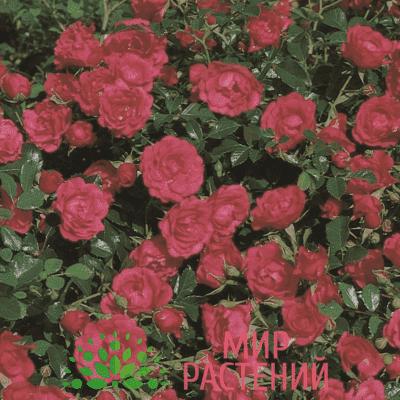 Роза почвопокровная Rody. Роди. Тантау.