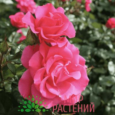 Роза кустовая Romanze. Романце. Тантау.
