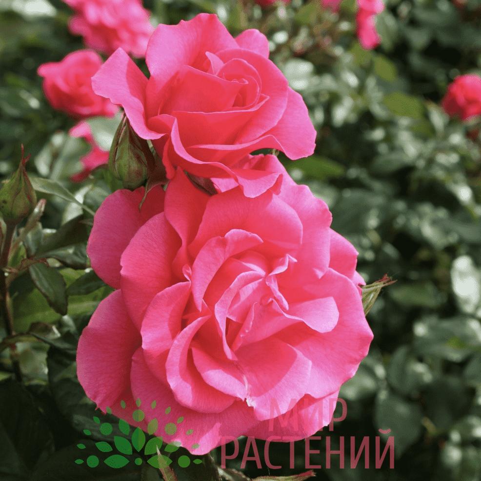 Тантау Романце Tantau Romanze 1
