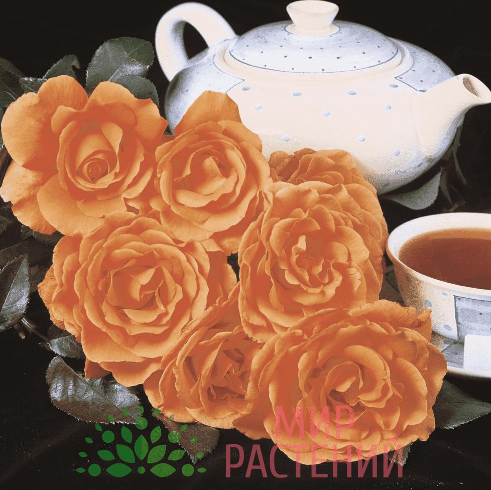 Тантау Ти Тайм Tantau Tea Time 2