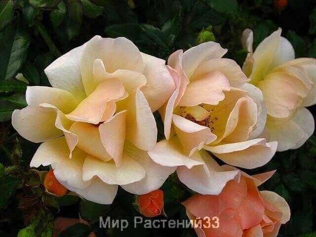Роза кустовая Amber Sun. Амбер Сан. Кордес.
