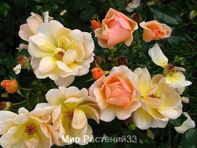 купить сажены роз город Владимир