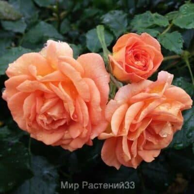 Роза почвопокровная Bentheimer Gold. Бентайме Голд. Кордес.