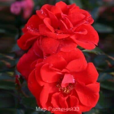 Роза кустовая Brilliant Korsar. Брилиант Кошар. Кордес.