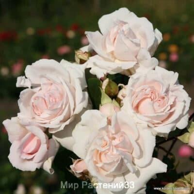 Роза флорибунда Constanze Mozart. Констанце Моцарт. Кордес.
