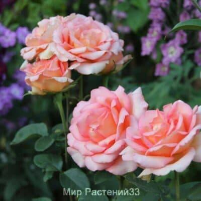Роза чайно-гибридная Fantasia Mondiale. Фантазия Мондиаль. Кордес.