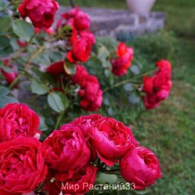 Роза плетистая Florentina. Флорентина. Кордес.