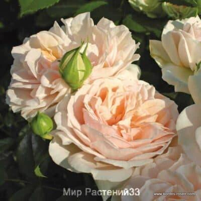 Роза флорибунда Garden of Roses – Син. Cream Flower Circus. Гарден оф Роузес син. Крим Флауэр Сёркас. Кордес.