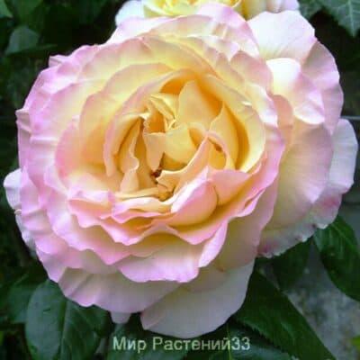 Роза чайно-гибридная Gloria Dei. Глория Дей. Кордес.