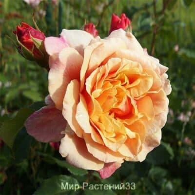Роза кустовая Caramella. Карамела. Кордес.