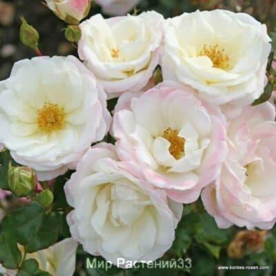 Роза флорибунда Eisprinzessin. Айспринцесен. Кордес.