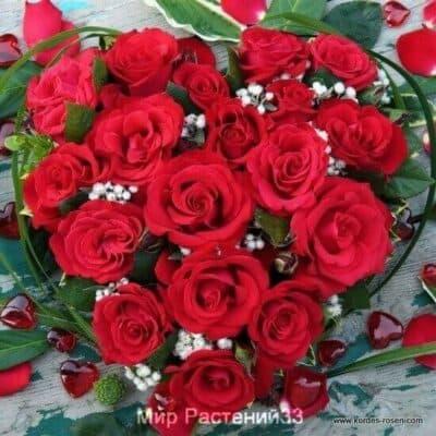 Роза чайно-гибридная Grande Amore. Гранд Амор. Кордес.