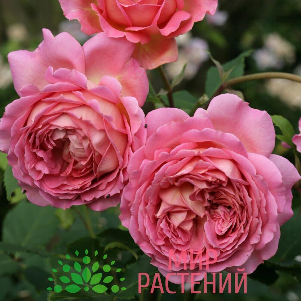 Роза кустовая Jubilee Celebration. Джубиле Селебрэйшн. Дэвид Остин.